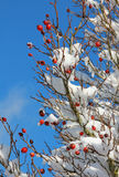 Snow covered rose hip bush Stock Photo