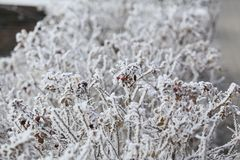 Snow-covered rose shrub stock photography
