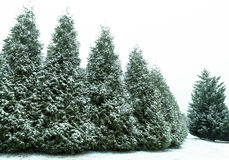 Snow covered row of trees Stock Image