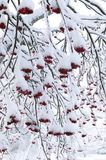 Rowan covered by snow. Winter scene in a forest stock photos