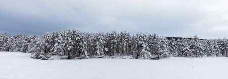 Snow covered Scandinavian pinewood forest with pine trees, Pinus sylvestris. Pinewood forest in Evje, Norway. Pine trees, Pinus sylvestris, covered in snow Stock Images