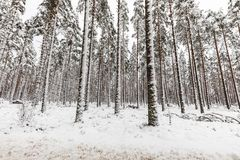 Snow covered Scandinavian pinewood forest with snowy forest floor and pine tree stems, Pinus sylvestris. Pinewood forest in Evje, Norway. Pine trees, Pinus Royalty Free Stock Photography