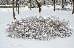 Snow-covered shrub Stock Photos