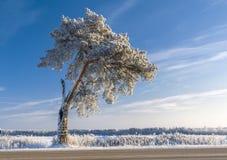 Snow covered single pine tree Royalty Free Stock Photo