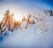 Snow-covered small fir-trees in mountain forest at sunrise Stock Photography