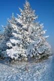 Snow-covered spar Royalty-vrije Stock Foto