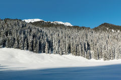 Snow-covered sparren Stock Afbeelding