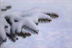 Snow-covered sparrentak Royalty-vrije Stock Afbeeldingen