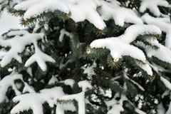 snow-covered sparrentakken Royalty-vrije Stock Foto
