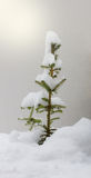 Snow-covered spruce. On a beautiful winter day with many snowflakes the small sapling was completely snowed Royalty Free Stock Images