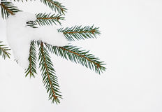 Snow covered spruce branch Royalty Free Stock Image