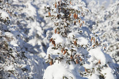 Snow covered spruce branches. Winter nature Stock Image