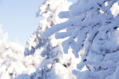Snow covered spruce branches. Winter nature Royalty Free Stock Image