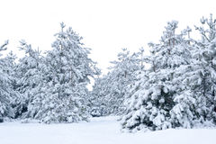 Snow-covered spruce. Royalty Free Stock Images