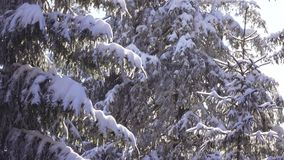 Snow-covered spruce and falling snow stock video footage
