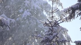 Snow-covered spruce and falling snow stock video