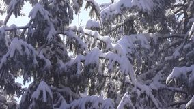 Snow-covered spruce and falling snow stock footage