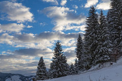 Snow covered spruce on  mountain slope . Stock Image