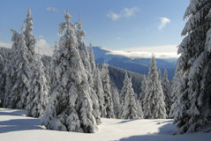 Snow covered  spruce in mountains Stock Image