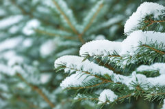 Snow-covered spruce Royalty Free Stock Image