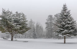 Snow Covered Spruce and Pine. Snowy landscape with a snow covered spruce and pine tree. Northern winter storm royalty free stock images