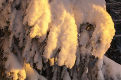 Snow covered spruce tree branches Royalty Free Stock Photo
