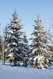 Snow covered spruce trees Stock Photo