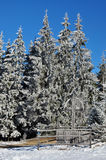 Snow covered spruce trees and blue sky Stock Photo
