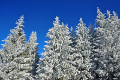 Snow covered spruce trees and blue sky Royalty Free Stock Image