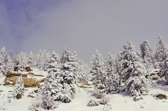 Snow covered spruce trees. In the Rocky Mountains of Colorado. Against a sunny royalty free stock photography