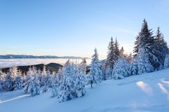 Snow covered spruce trees stand in snow swept mountain meadow under a blue sky. Marvelous winter sun high in the mountains. Snow covered spruce trees stand in Royalty Free Stock Photo