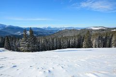 Snow covered spruce trees stand in snow swept mountain meadow under a blue sky. Marvelous winter sun high in the mountains. Snow covered spruce trees stand in Stock Photos