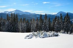 Snow covered spruce trees stand in snow swept mountain meadow under a blue sky. Marvelous winter sun high in the mountains. Snow covered spruce trees stand in Stock Images