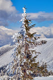 Snow-covered spruce trees during winter in the Giant Mountains Stock Photos