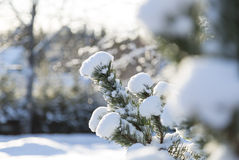 Snow Covered Spruce Twig Stock Photos