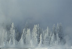 Snow Covered Spruce in Winter. A cold scene in winter of snow covered spruce trees Stock Photo