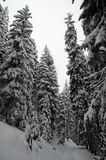 Snow-covered spruces Stock Images