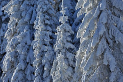 Snow-covered spruces in the mountains Stock Image