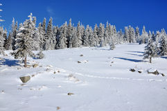 Snow covered spruces in the mountains Stock Photo