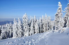 Snow-covered spruces Stock Image