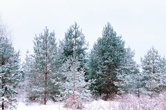 Snow-covered Spruces And Pines Stock Images