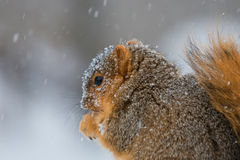 Snow Covered Squirrel. A photo of a fox squirrel, also known as a red squirrel,  in a snow storm Stock Photo