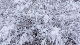 Snow-covered struik na ijzige sneeuwval stock afbeeldingen