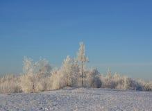 Snow-covered struiken van de winter Stock Foto's