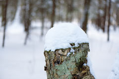 Snow covered stump trees in winter forest Stock Images
