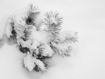 Snow-covered tak van een pijnboom Stock Afbeeldingen