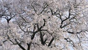 Snow-covered Takken van Acacia van onderaan stock video