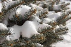Snow-covered takken van de pijnboomboom Stock Fotografie
