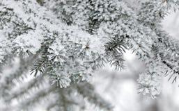 Snow-covered takken van een bont-boom Stock Foto