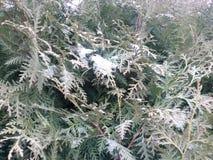Snow-covered takken van thuja stock fotografie